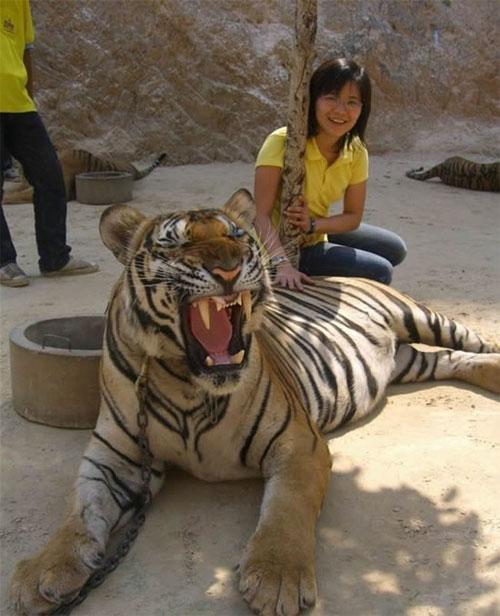 Четвёртую тигрицу нашли с простреленным носом. Нос зашили в храме, но до сих пор, если ей сказать